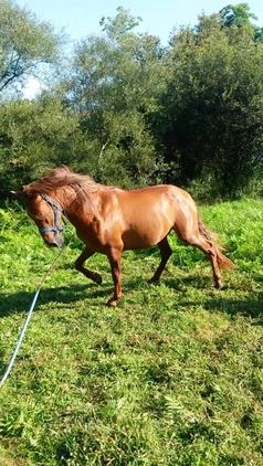 caballo PRE alazan