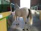 caballo PRE de la yeguada la Parrilla