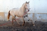 Potro Lusitano albino