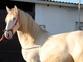 Potro Lusitano albino en venta