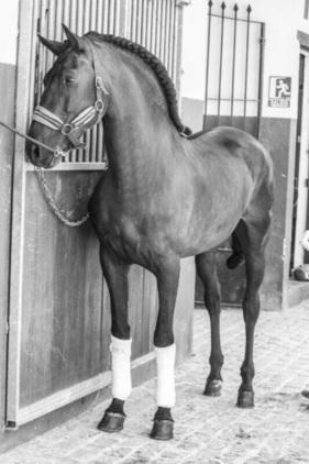 Se vende caballo de competición