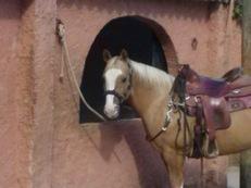 Quarter horse reining