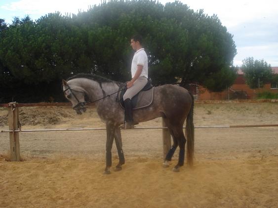 caballo lusitano 5 años