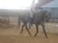 caballo lusitano 5 años en venta