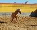Potro palomino español puro con papeles en venta en España