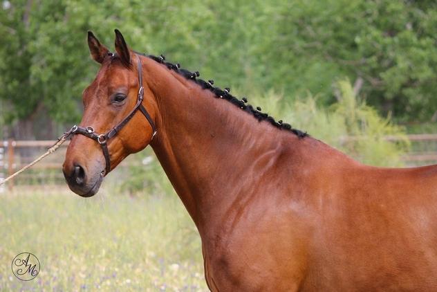 caballo cde 11 años