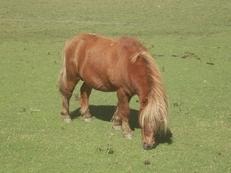 Venta Pony montado Y enganchado