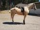 caballo perla de 170 en venta