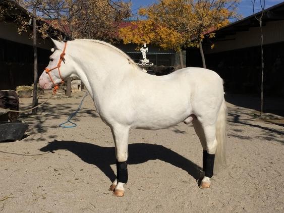 Importante II AM. Pony Welsh.