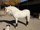 Importante II AM. Pony Welsh. en venta en España