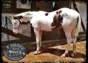 POTRO AMERICANO PAINT HORSE REGISTRADO