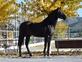 Caballo negro PRE muy bien montado en venta en España