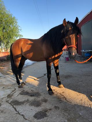 Venta de caballo Pura Raza Española