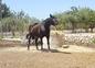 Se vende yegua pre baya oscura  en venta en España