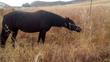 Yegua negra peñada