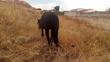 Yegua negra peñada en venta en España