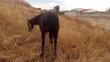 Yegua negra peñada en venta