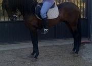 Venta de caballo P.R.E