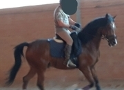 Vendo caballo hispano arabe