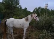 Yegua pura raza árabe de 9 años, raid, paseo o horseball