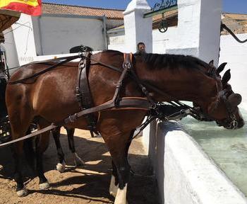 Tronco de caballos Kwpn