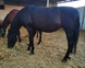 A la venta yegua PRE negra preñada de GERENTE V de yeguada militar