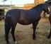 A la venta yegua PRE negra preñada de GERENTE V de yeguada militar en venta en España
