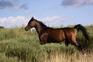 Venta de caballos, potros y yeguas pura raza árabe