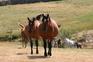 Venta de caballos, potros y yeguas pura raza árabe en venta en España