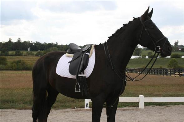 holandés Warmblood caballo de castración