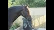Se vende caballo PRE  en venta en España