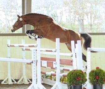 Teqniq, cazador/saltador de 9 años con grandes cualidades