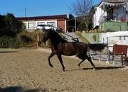 En venta caballo PRE de 6 años!