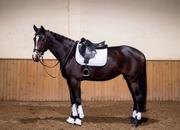 Allround mare for sale