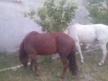 caballo pequeño (ASTURCON)