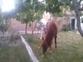 caballo pequeño (ASTURCON)  en venta en España