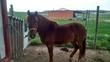 caballo pequeño (ASTURCON)  en venta