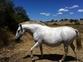 Yegua lusitana valorada  en venta en España