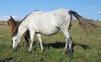 Se vende yegua de cría en venta en España