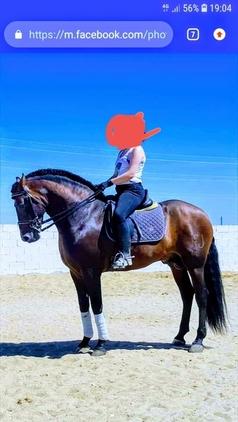 excepcional caballo entero castaño morcillo