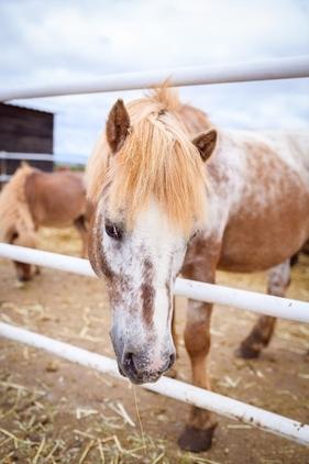 Cesion de ponis y Caballos