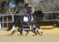 Venta caballo PRE  en venta en España