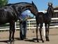 yegua pre negra  en venta en España