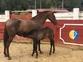 Venta de  dos yegua capa Alazan PRE en venta en España
