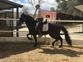 Se vende caballo hispano lusitano en venta