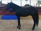 Venta caballo PRE capa negro en venta en España