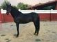 Venta caballo PRE capa negro en venta