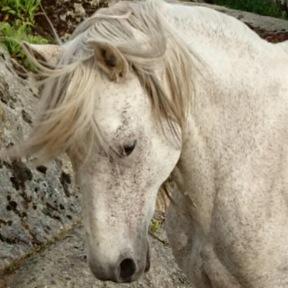 Vendo caballo P.R.E.
