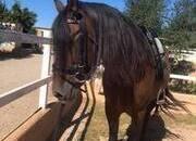 Precioso caballo PRE
