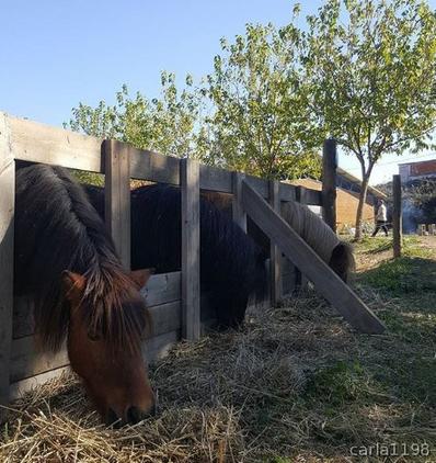 Ponys Tipo Shetland Para Escuela
